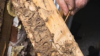 Newcastle termites